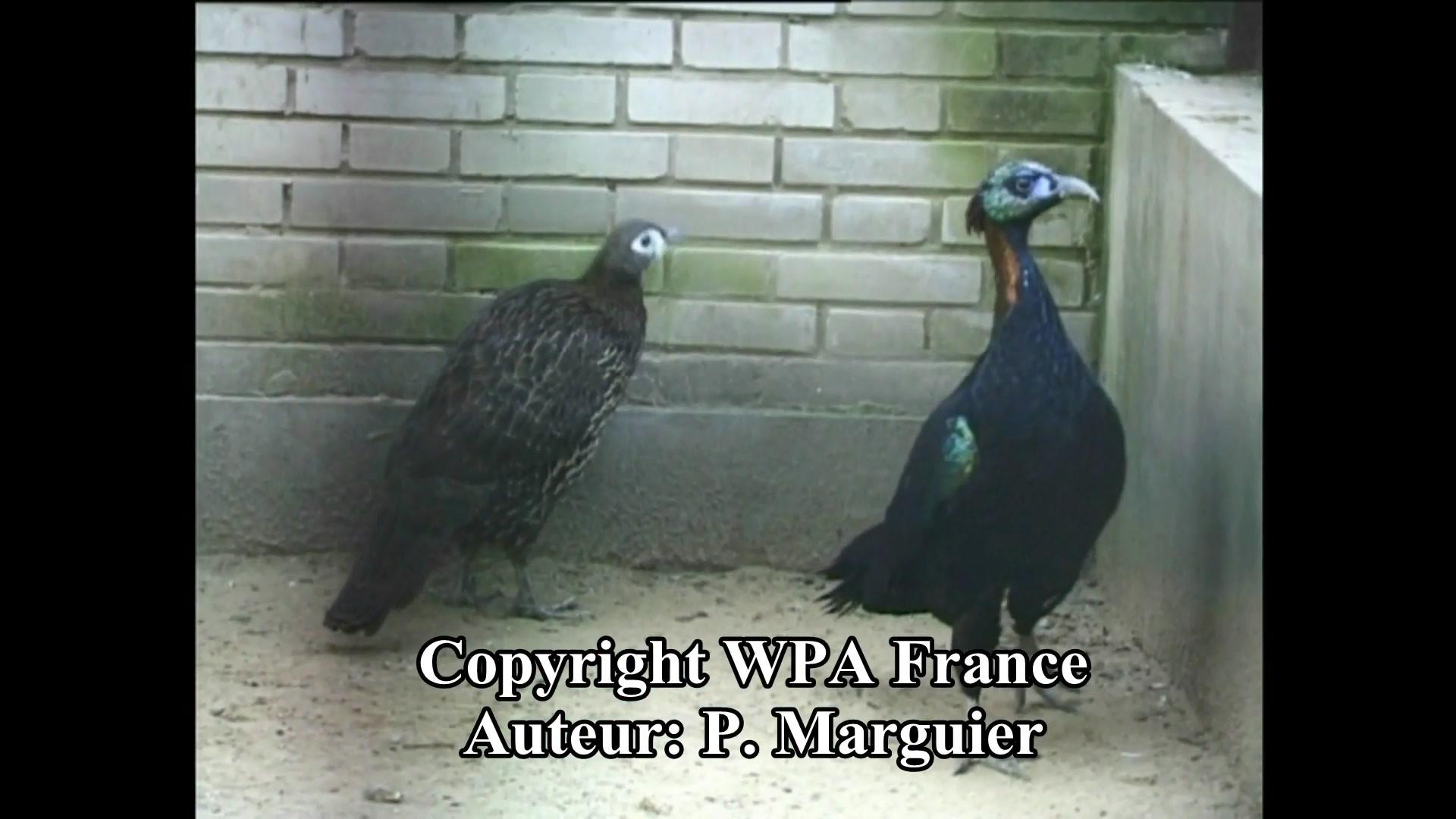 p-lophophore-de-lhuys-p.-marguier-wpa.av