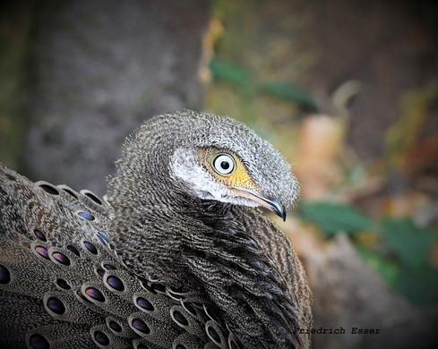 Friedrich Esser GPP eye.jpg