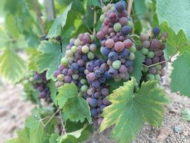 Les couleurs arrivent dans nos vignes