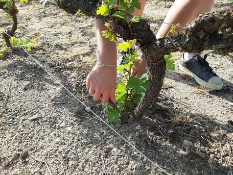 """Dès le début du moi de mai, les vignes sont généralement sufisamment poussées pour commencer """"l'ébourgeonnage"""": ce travail consiste à enlever les rameaux inutiles (appelés gourmands) qui poussent au niveau du sol et sur le vieux bois. L'objectif étant de concentrer la sève sur les brins principaux et les grappes, d'éviter un entassement de la végétation dans les souches, et de faciliter la taille de l'hiver suivant."""