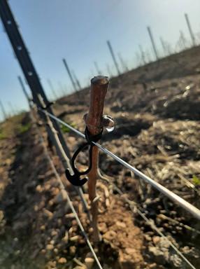 La vigne qui pleure est le premier signe visible indiquant le passage d'une vie passive à une vie active.