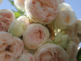 Beautiful roses everywhere...and what to do now