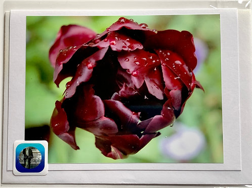 Tulip - deep burgundy