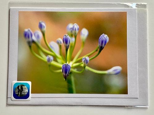 Flowers - Agapanthus in bud