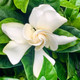 This gardenia not only looks beautiful,