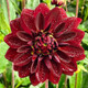 The Dahlias are still blooming though t