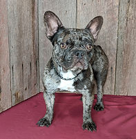 Braxton French Bulldog1 copy.jpg