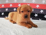 Bella - French Bulldog3.jpg