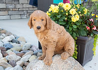 Heidi - Mini Goldendoodle1.jpg