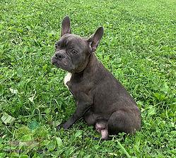 Pretty Blue Lacey - French Bulldog2.jpg