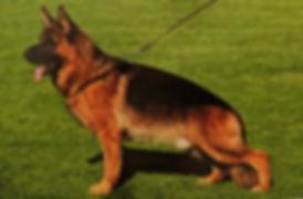 Quine - World Class German Shepherd.jpg
