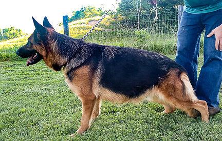 Wyna - German Shepherd11.jpg