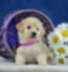 Julie- female goldendoodle 2.jpg