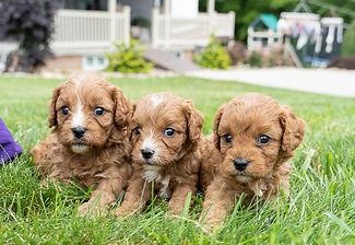Kendra's Puppies - Cavapoo.jpg