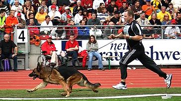 German Shepherd Show2