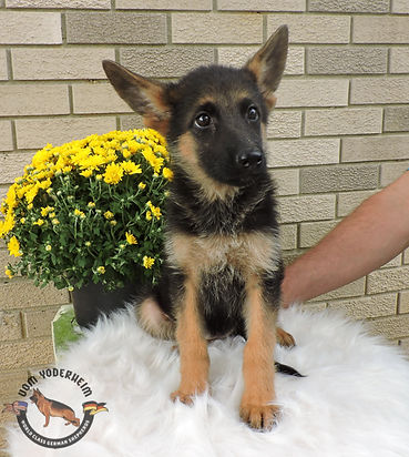 Puppies - World Class German Shepherd3.j