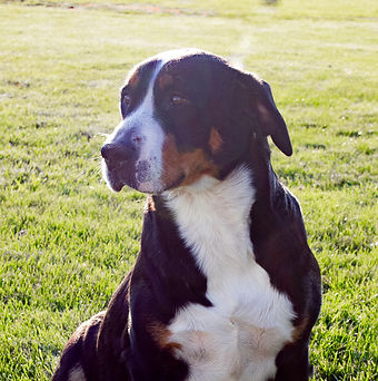 Tracy, Female, Greater Swiss Mountain Dog