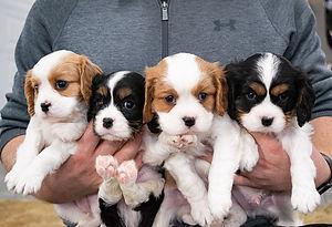 Puppies King Charles Cavalier1.jpg