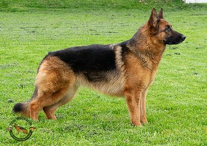 Elsie - German Shepherd1.jpg