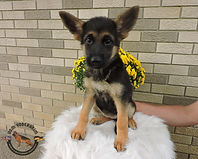 Puppies - World Class German Shepherd1.j
