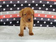 Bella - French Bulldog2.jpg