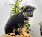 Puppies - World Class German Shepherd1.j