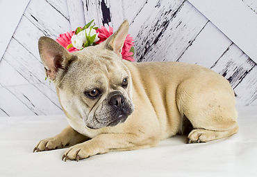 Beverly - French Bulldog - 3.jpg