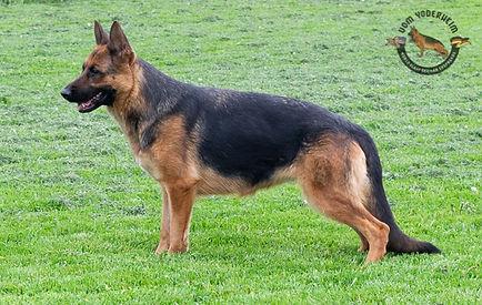 Karla - World Class German Shepherd7.jpg