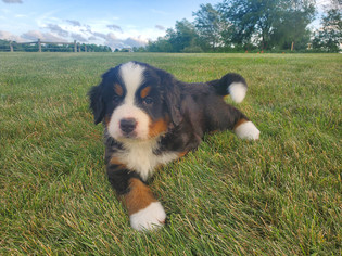 Ginger - Bernese Mountain Dog-2.jpg