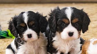 Puppies King Charles Cavalier3.jpg