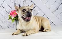 Beverly - French Bulldog - 2.jpg
