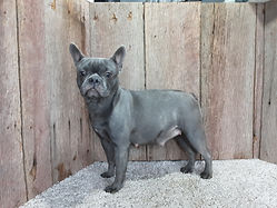 Pretty Blue Lacey - French Bulldog2.jpg