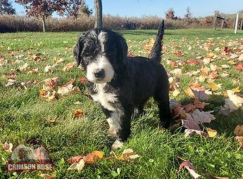 Bella - French Bulldog4.jpg