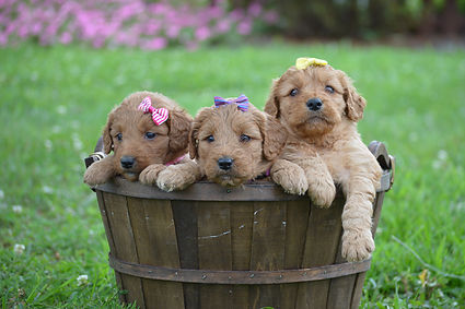 Female F1B mini golden doodle grp photo.