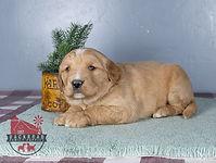 Heidi - Mini Goldendoodle1.jpg