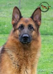 Elsie - German Shepherd2.jpg