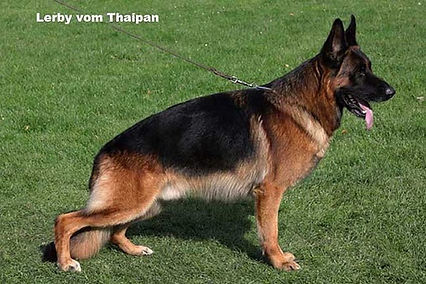 Quine - World Class German Shepherd.jpg