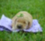 Rosie- female golden retriever 1.jpg