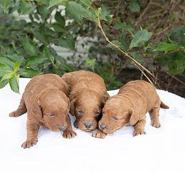 geneva's girls - Goldendoodle.jpg
