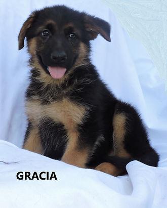 Puppies - World Class German Shepherd3.j