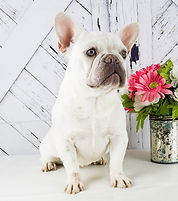 Pearl - French Bulldog - 2.jpg