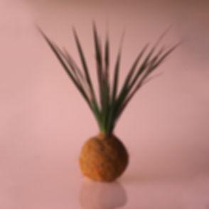 dracaena bicolor.jpg