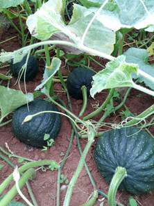 Plantação de abóboras