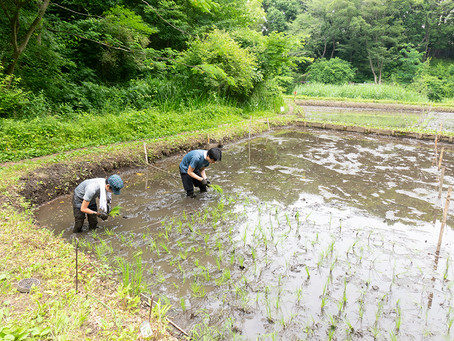 昔ながらの米作り