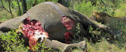 Mjejane Reserve - Lion on Elephant