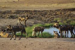 Pack of Wild Dogs on Black Rhino