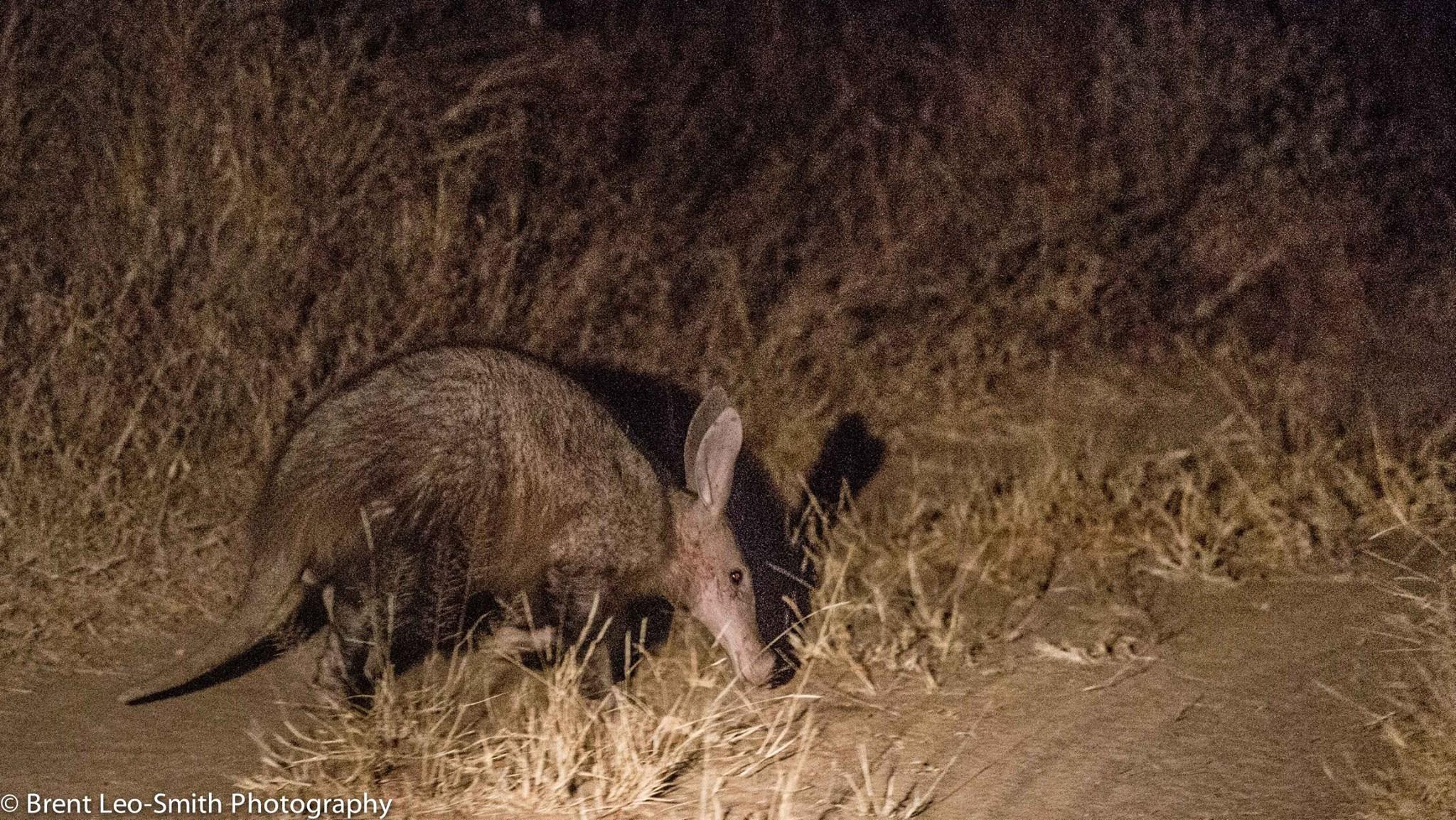 Aardvark  on Leadwood Estate