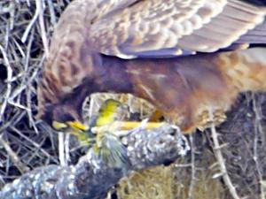 Hawk Rips Head off Baby Bird