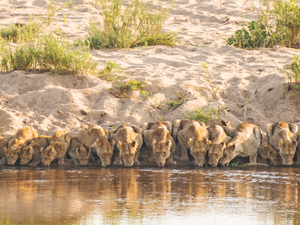 The Moment 20 Lions All Drink in Perfect Unison