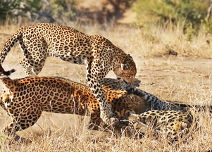 Males Fight Over Leopardess, She Breaks it Up!